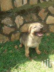 Puppies | Dogs & Puppies for sale in Central Region, Kampala