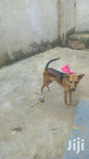 Crossbreed German | Dogs & Puppies for sale in Central Region, Kampala