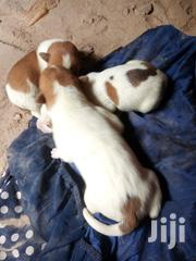 Local Breed Purppies | Dogs & Puppies for sale in Central Region, Kampala
