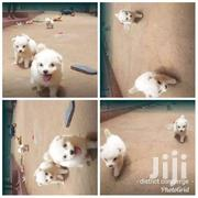 Pets.  Maltese And Spitz Puppies | Dogs & Puppies for sale in Central Region, Kampala