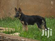German Shepherds Puppies On Sale Call / | Dogs & Puppies for sale in Central Region, Kampala