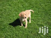 Labrador Retriever Puppies | Dogs & Puppies for sale in Nothern Region, Lira