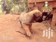 Healthy Puppies For Sale | Dogs & Puppies for sale in Central Region, Kampala