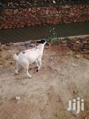 Goats And Sheep At Lowest Prices | Other Animals for sale in Central Region, Kampala