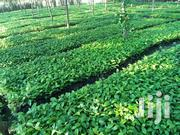 Elite Coffee | Feeds, Supplements & Seeds for sale in Central Region, Kayunga