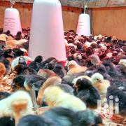 Chicks | Birds for sale in Central Region, Kampala