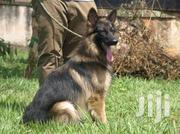 German Shepherd Male On Sale Call | Dogs & Puppies for sale in Central Region, Kampala