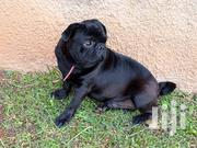 Pug For Sale | Dogs & Puppies for sale in Central Region, Kampala