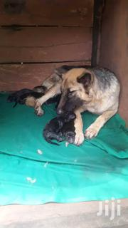 Pure Long Coat German Shepherd Puppies | Dogs & Puppies for sale in Central Region, Kampala