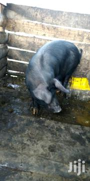 Pigs For Sale In Rukungiri | Other Animals for sale in Western Region, Rukungiri