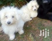 Maltese Puppy On Sell,Pure White And Black Male, Solid Black Female | Dogs & Puppies for sale in Central Region, Kampala