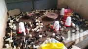 Local Chicks | Livestock & Poultry for sale in Central Region, Wakiso