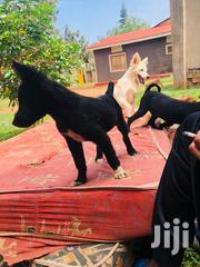 Puppies Vaccinated With Medical Card | Dogs & Puppies for sale in Central Region, Kampala