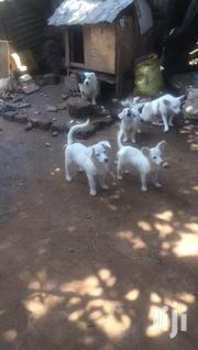 Active Puppies For Sale | Dogs & Puppies for sale in Central Region, Kampala