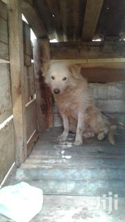 White Exotic Dog | Dogs & Puppies for sale in Central Region, Kampala