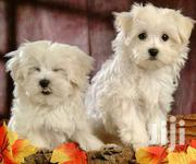 Maltese White Cute Puppies | Dogs & Puppies for sale in Central Region, Kampala