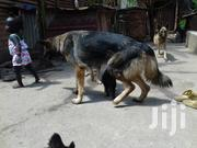 Pure Sable Female German Shepherd | Dogs & Puppies for sale in Central Region, Kampala