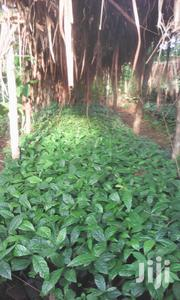 Coffee Seedlings | Feeds, Supplements & Seeds for sale in Central Region, Kayunga