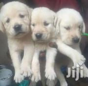 Labrador  Puppies | Dogs & Puppies for sale in Central Region, Kampala