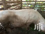 Female Pig Which Is Yet To Give Birth | Livestock & Poultry for sale in Central Region, Masaka