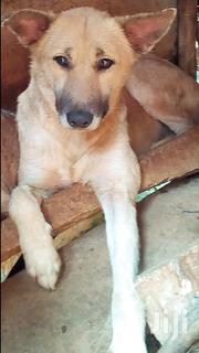 Security Dog (Aggressive) | Dogs & Puppies for sale in Central Region, Kampala