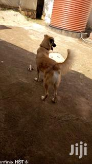 German Shepherd For Sale | Dogs & Puppies for sale in Central Region, Wakiso