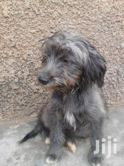 Black Maltese Female On Sell 3months Old | Dogs & Puppies for sale in Central Region, Kampala