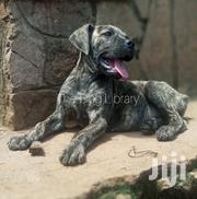 Boerboel Puppy | Dogs & Puppies for sale in Central Region, Kampala