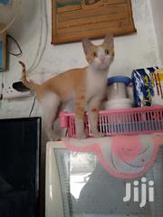 White Brown Canadian Cat | Cats & Kittens for sale in Eastern Region, Mbale