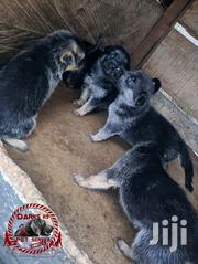 German Shephard Puppies | Dogs & Puppies for sale in Central Region, Kampala