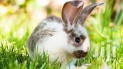 Rabbit Babies | Other Animals for sale in Central Region, Kampala