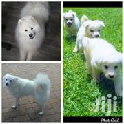 Young Female Purebred Samoyed | Dogs & Puppies for sale in Central Region, Kampala