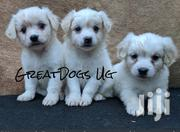 Beautiful Spits Puppies | Dogs & Puppies for sale in Central Region, Kampala