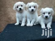 Japanese Spits Puppies Available For New Homes | Dogs & Puppies for sale in Central Region, Kampala