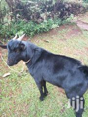 Male Goat For Sale | Other Animals for sale in Central Region, Kampala