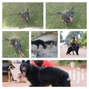 New German Shepherd Dog | Dogs & Puppies for sale in Central Region, Mukono