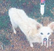Pomeranian Purebreed Dog | Dogs & Puppies for sale in Central Region, Kampala