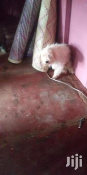 Mature Maltese Dog | Dogs & Puppies for sale in Central Region, Kampala