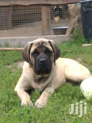 Male Super Original Boerboel Puppy | Dogs & Puppies for sale in Central Region, Kampala