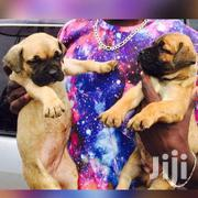 Boerboel Pure Healthy Puppies | Dogs & Puppies for sale in Central Region, Kampala