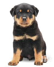 Rottweiler Original Puppies | Dogs & Puppies for sale in Central Region, Kampala