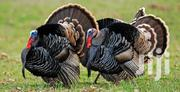 Turkeys For Sale At A Cheaper | Livestock & Poultry for sale in Central Region, Kampala
