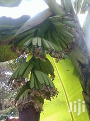 Banana Plants | Feeds, Supplements & Seeds for sale in Central Region, Kampala