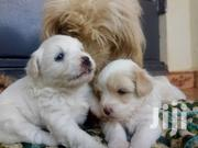 Maltese Puppies 1month | Dogs & Puppies for sale in Central Region, Kampala