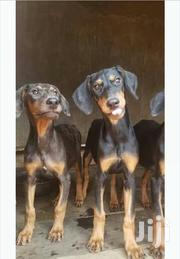 Doberman Puppies | Dogs & Puppies for sale in Central Region, Mukono
