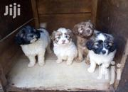 Cute Maltese Puppy For Sale | Dogs & Puppies for sale in Central Region, Kampala