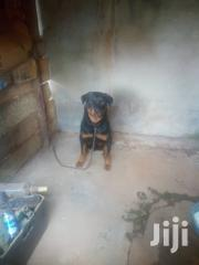 Rottweiler For Security | Dogs & Puppies for sale in Central Region, Kampala