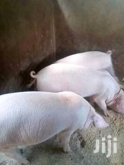 Selling Piglets | Livestock & Poultry for sale in Central Region, Kampala