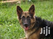Female GSD For Sale | Dogs & Puppies for sale in Central Region, Kampala
