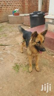 Male GSD For Sale | Dogs & Puppies for sale in Central Region, Kampala